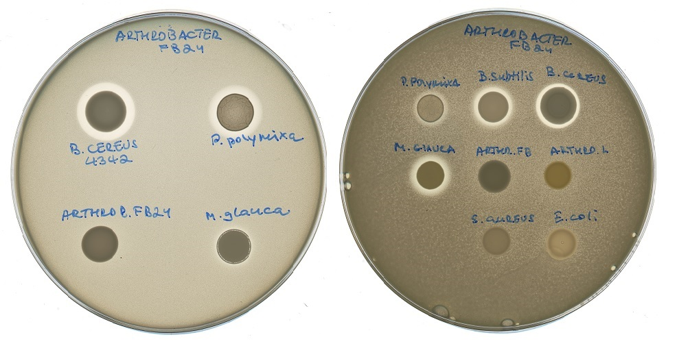 Petri dishes exhibiting bacterial reactions to different types of antibiotics. The inhibition of bacterial growth can be observed in the halos surrounding some of the antibiotics. Photo: Svetlana Dubiley // Skoltech Center for Data-Intensive Biomedicine and Biotechnology.