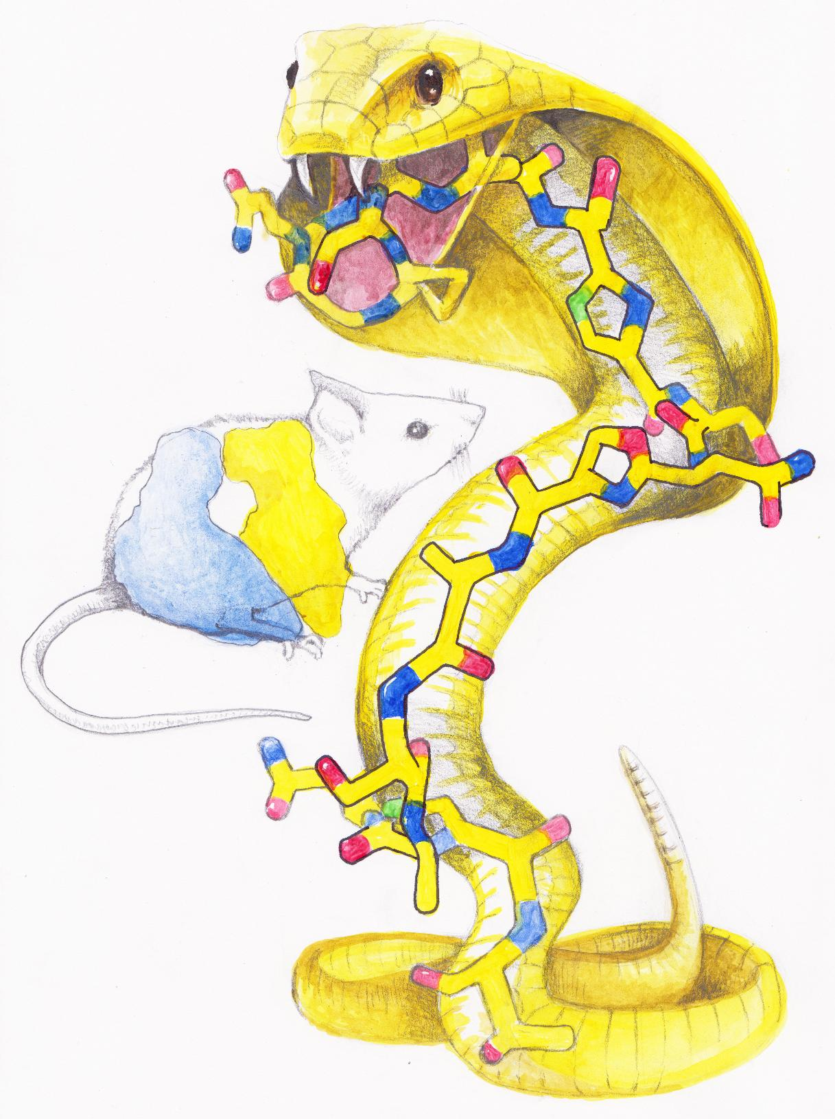 In this artistic rendition of the KLB antibiotic action, the KLB molecule, which has a snake-like appearance and is drawn as a cobra, is posed to attack a ribosome, drawn as a stunned mouse. The actual size of the ribisome is much larger than the size of the KLB molecule. Illustration: by Maxim Svetlov.
