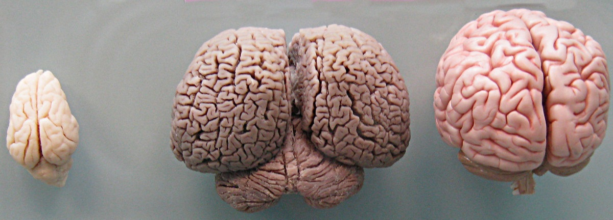 A side-by-side comparison of the actual brains of a wild  boar (left), a bottlenose dolphin (center) and a human (right, model). Photo: Boksi // Wikipedia Commons.
