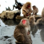 japanesemacaques5