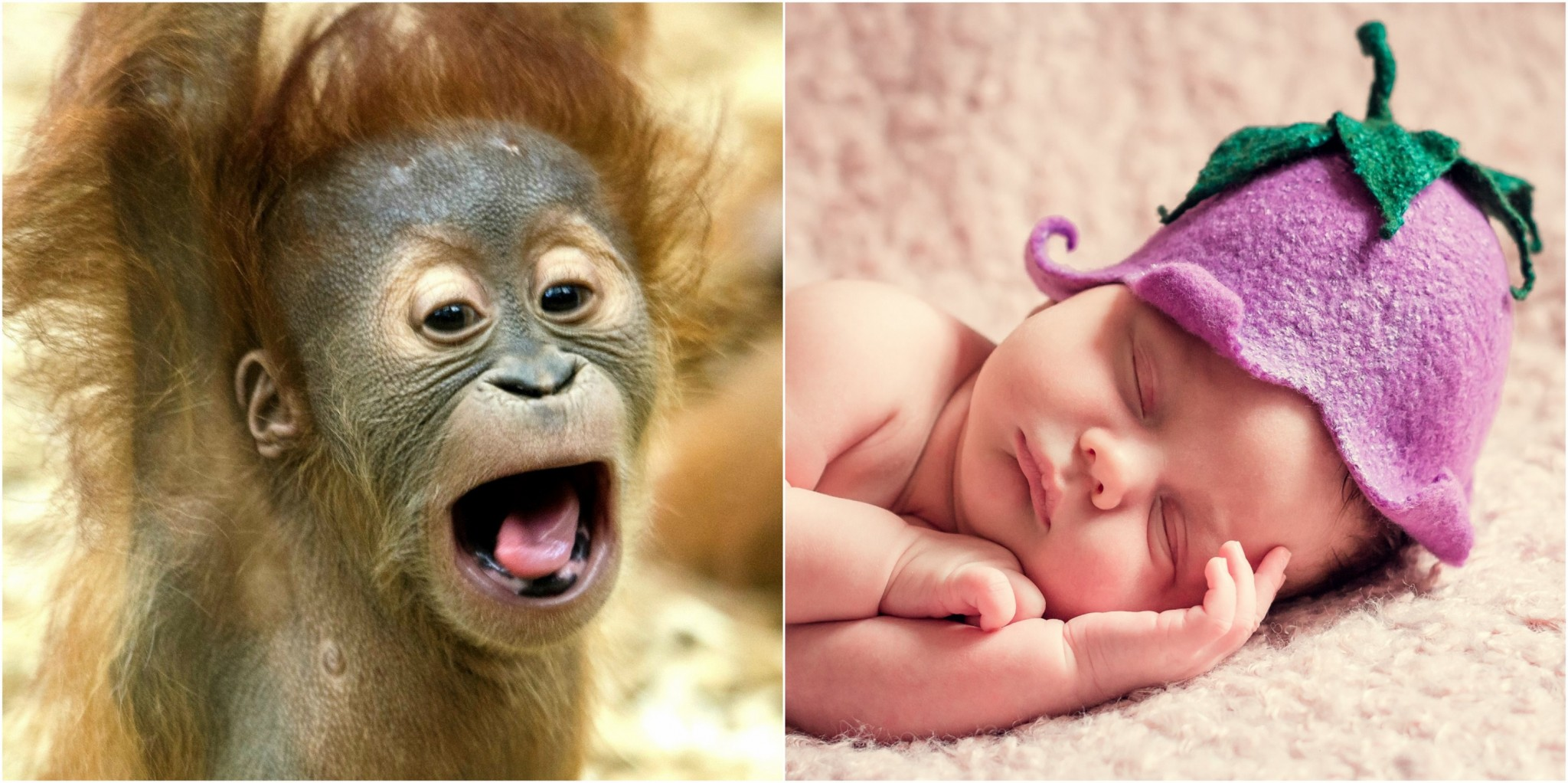 While apes and humans alike are born with very little understanding of how to behave in the world, the former adjusts much more quickly than the latter. Photos: Public domain.