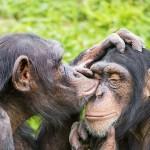 chimpscrop