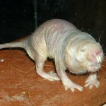 The naked mole rat, nature's poster child for anti-aging. Photo: Roman Klementschitz // Wikimedia Commons.