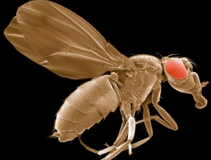 Scanning electron micrograph of the Drosophila melanogaster sestrin-null mutant used to study pathways involved in oxidative stress and aging. Sestrins are a family of proteins that play key roles in regulating aging and metabolism. A sestrin-null mutant exhibits an age-dependent response to oxidative stress. Image by Thomas Deerinck, NCMIR Courtesy of cellimagelibrary.org