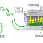 Telomerase_illustration