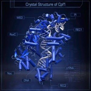 Figure from publication (Yamato et al. Crystal Structure of Cpf1 in Complex with Guide RNA and Target DNA. Cell. 2016 May 5;165(4):949-62).